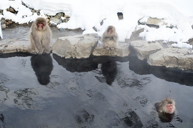 snow-monkeys-1567246_960_720.jpg